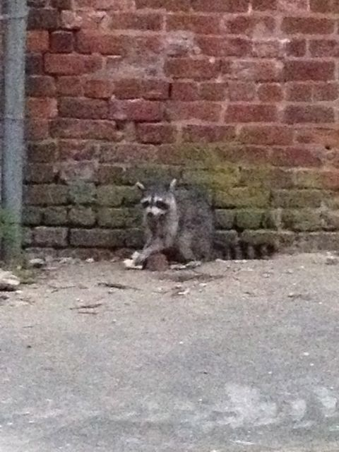 Raccoon eating a sandwich