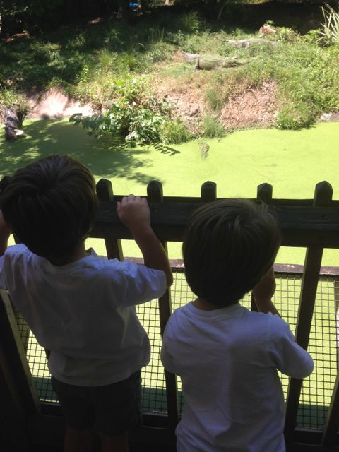 The boys watch the gator